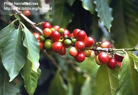кофейное дерево кофейное дерево.